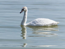 Łabędź na jeziornym Balaton Fotografia Stock