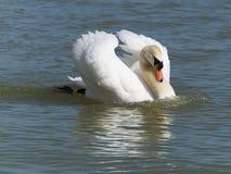 Łabędź na jeziornym Balaton Zdjęcia Royalty Free