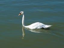 Łabędź na jeziornym Balaton Fotografia Royalty Free