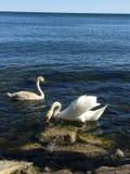 Łabędź na Jeziornym Ontario spring2018 fotografia royalty free