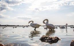 Łabędź na jeziornym Sasyk zdjęcie royalty free