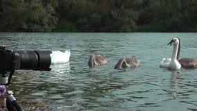 Łabędź na jeziorze zbiory