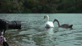 Łabędź na jeziorze zdjęcie wideo