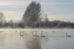 Łabędź na jeziorze Obraz Royalty Free