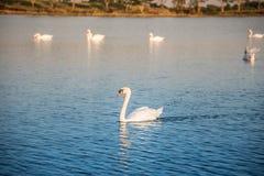 Łabędź na jeziorze zdjęcia stock