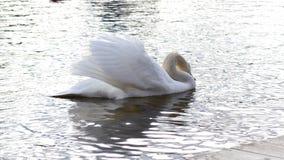 Łabędź na jeziorze Zdjęcie Royalty Free