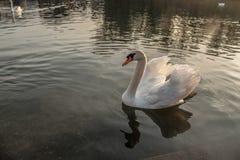 Łabędź na jeziorze Fotografia Royalty Free