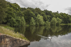 Łabędź na jeziorze przy Nostell Priory, Wakefield Obraz Royalty Free
