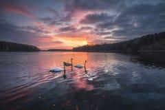 Łabędź na jeziorze przy zmierzchem Obrazy Royalty Free