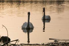 Łabędź na jeziorze przy zmierzchem w watter Zdjęcie Stock