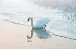 Łabędź na krawędzi lodu i wody Zdjęcie Stock
