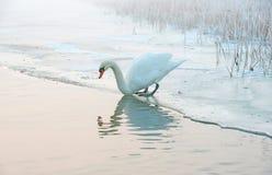 Łabędź na krawędzi lodu i wody Zdjęcia Royalty Free