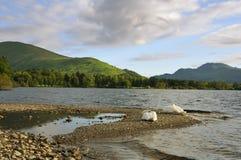 Łabędź na Loch Lomond Zdjęcia Royalty Free