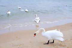 Łabędź na morzu Zdjęcie Stock