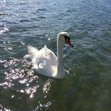Łabędź na pięknym dniu na morzu fotografia stock
