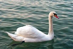 Łabędź na powierzchni jezioro obrazy stock