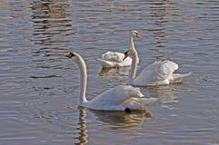 Łabędź na rzece Zdjęcia Royalty Free