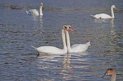 Łabędź na rzece Fotografia Royalty Free