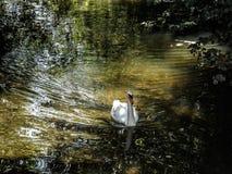 Łabędź na rzece Zdjęcie Stock