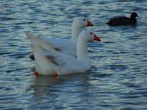 Łabędź Na rzece Obrazy Royalty Free