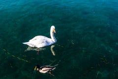 Łabędź na wodzie Zdjęcia Stock