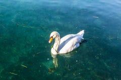 Łabędź na wodzie Fotografia Royalty Free