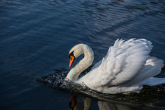 Łabędź na wodzie Obraz Royalty Free