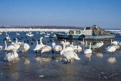 Łabędź na zamarzniętym rzecznym Danube Fotografia Stock