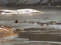 Łabędź na zimy rzece zdjęcia royalty free