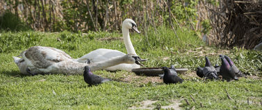 Łabędź odpędza gołębie od synkliny Fotografia Royalty Free
