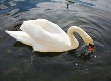 Łabędź pływa na jeziorze Romantyczny portret Zdjęcie Stock