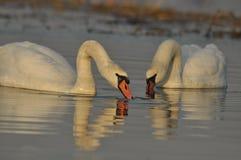 Łabędź pływa na rzece Para ptaki na wodzie Miłość Fotografia Royalty Free