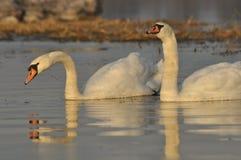 Łabędź pływa na rzece Para ptaki na wodzie Miłość Zdjęcia Stock