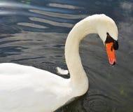 Łabędź pływa Romantyczny portret Obraz Royalty Free