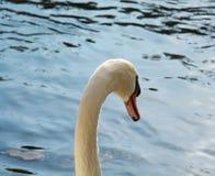 Łabędź pływa Romantyczny portret przeciw jezioru Obrazy Stock