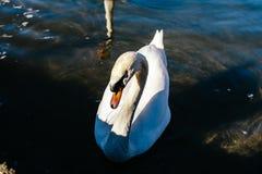 łabędź pływa zaciszność wzdłuż rzeki, Lago Maggiore, Włochy obrazy royalty free