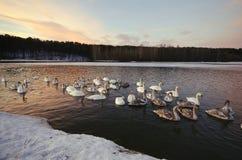 Łabędź pływają i żyją w zimie Fotografia Royalty Free