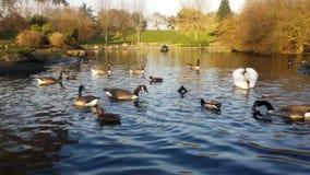 Łabędź parka kaczki ptaków rzeki jesień zbiory