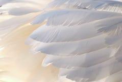 Łabędź piękni piórka Obraz Stock