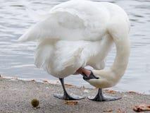 Łabędź preening przy brzeg jeziora UK zdjęcie royalty free