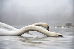 Łabędź przy jeziorem Zdjęcia Royalty Free