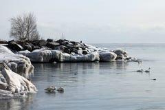 Łabędź przy zimą Obraz Royalty Free