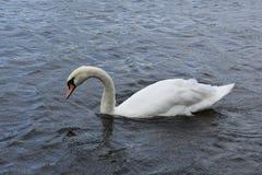 Łabędź - ptak - natura - Cygnus - woda - jezioro Zdjęcie Royalty Free