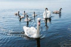 Łabędź rodzinni na jeziorze Obraz Stock