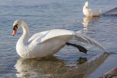 Łabędź rozprzestrzenia swój skrzydła suszyć Fotografia Stock