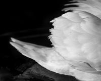 Łabędź skrzydło Fotografia Stock