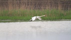 Łabędź szybko siedzi na wodzie i lata zdjęcie wideo