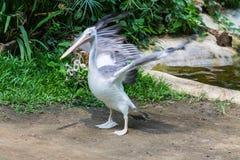 Łabędź uskrzydla w Chiangmai zoo, Tajlandia Obrazy Royalty Free