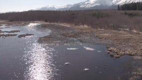 Łabędź w Alaska zbiory