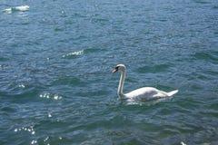 Łabędź w błękitnym jeziorze Obraz Royalty Free